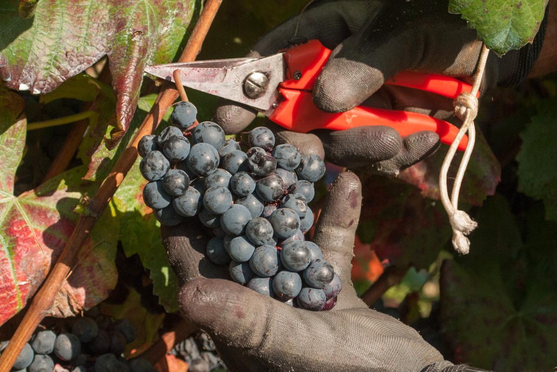 Alicante Weinlese an der Weingut La Greggia